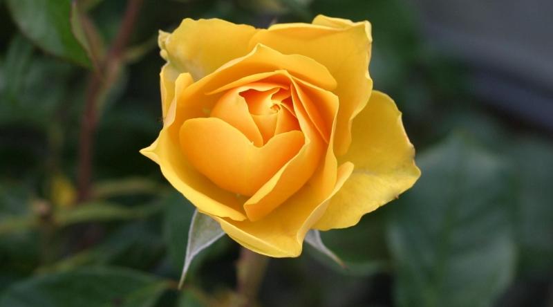 signes de rose jaune esprit